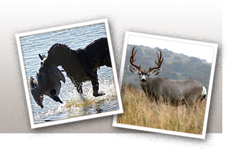 Two Images: One of a dog running in the water with a duck in it's mouth. The second is a picture of a mounted deer rack.